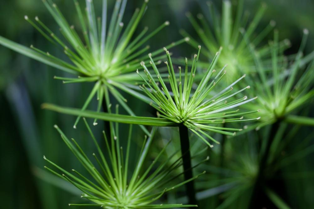cyperus flowers.jpg