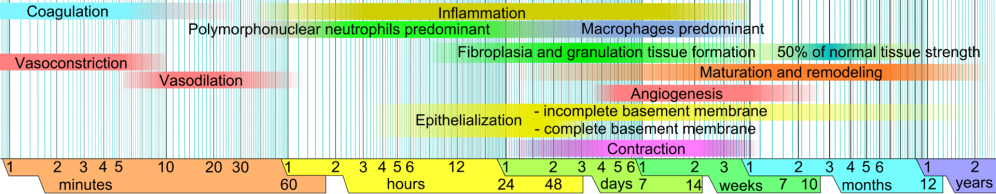 Wound_healing_phases.png