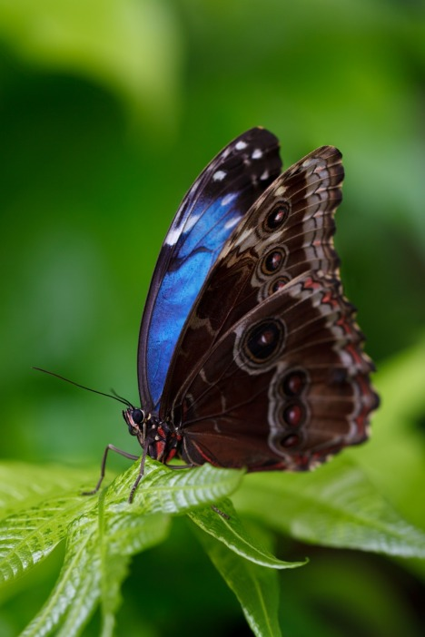 Morpho genus butterfly. Outer wing side: pigmented. Inner side: structurally colored