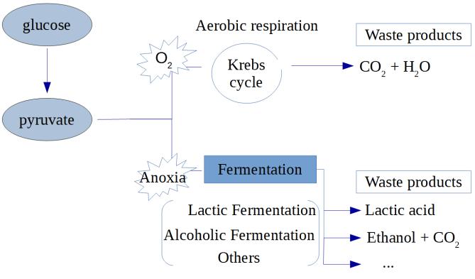 Fermentation vs aerobic respiration