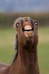 Flehmen response in horse